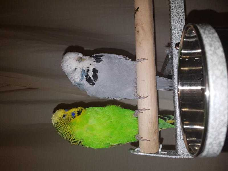 2 beautiful baby boy budgies for sale with 2 cages