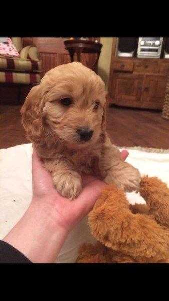 2 Females Cockapoo Pups for sale