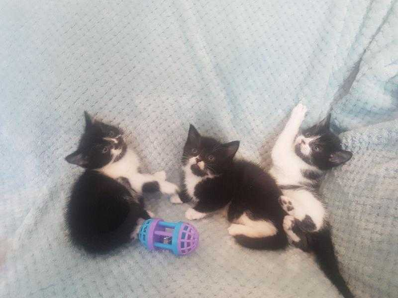 3 Beautiful Healthy Playful Kittens