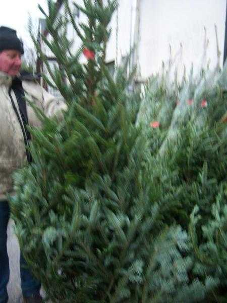 CHRISTMAS TREES FOR SALE BUY REAL CHRISTMAS TREES BELFAST NORTHERN IRELAND  CHRISTMAS STANDS N.I