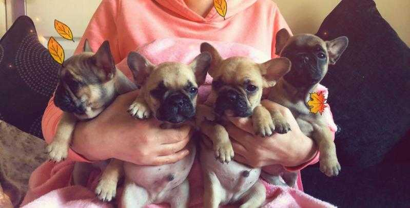 French bull dog puppies blue fawn and fawn
