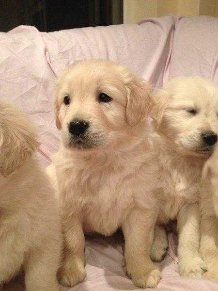 labradoodle puppies for sale in suffolk essex