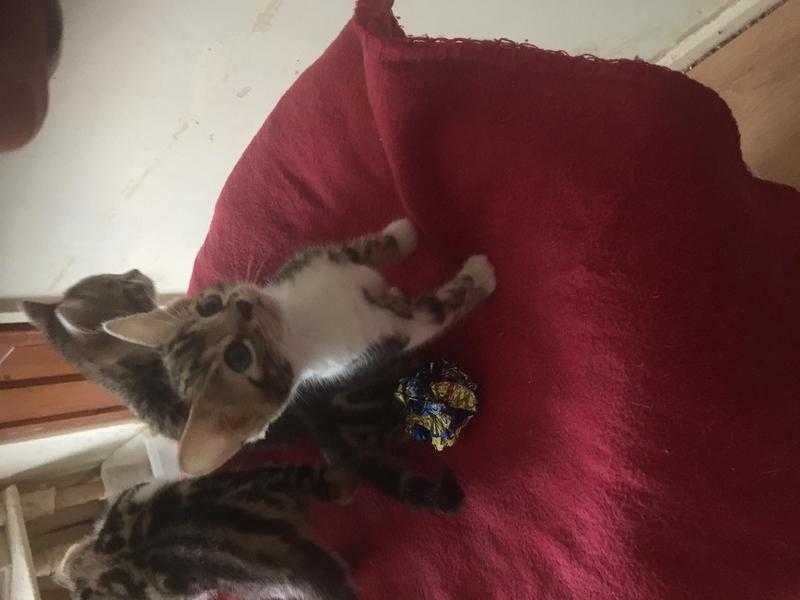 Gorgeous Bengal x BSH Pedigree Female kittens