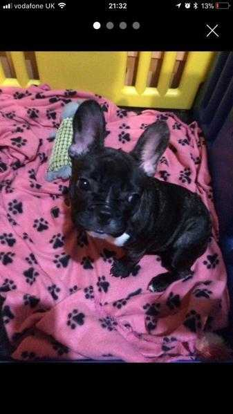 Gorgeous female French bulldog for sale.