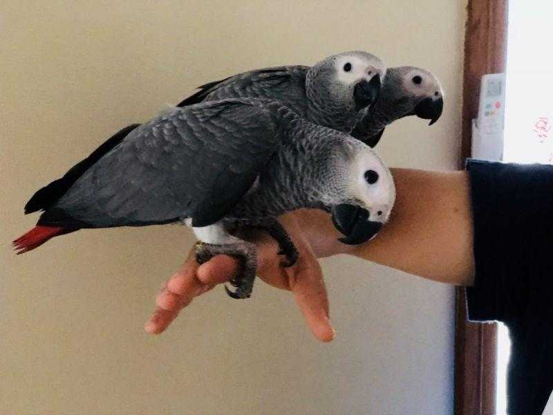 Hand raised African grey parrots