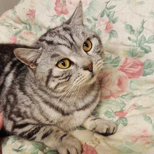 LOST PEDIGREE SILVER TABBY CAT FROM EDEN COURT NUNEATON