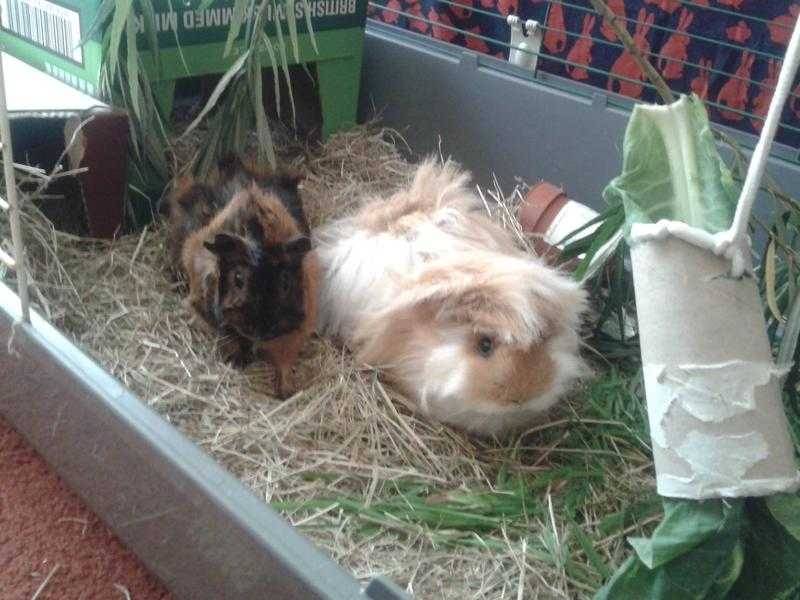 The Guinea-pig Lodge