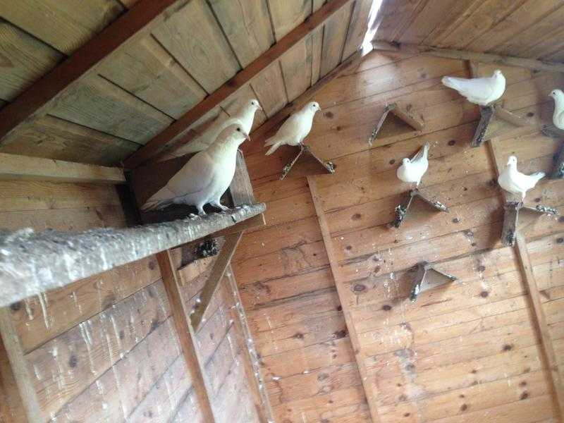 White pigeons for sale